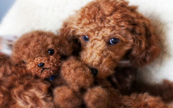 Poodle And Teddy Bear