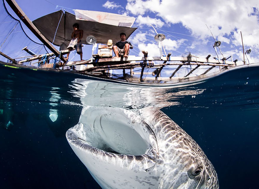 Interaction Between Whale Sharks And Local Fishermen In Papua Indonesia