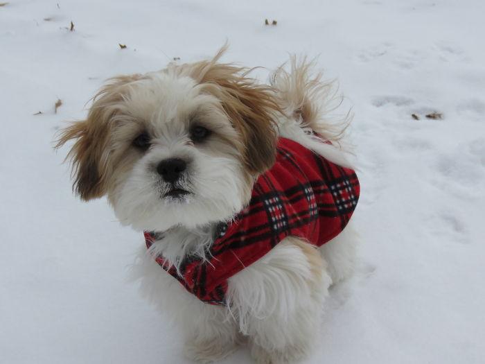 Shichon (teddy Bear Puppy)