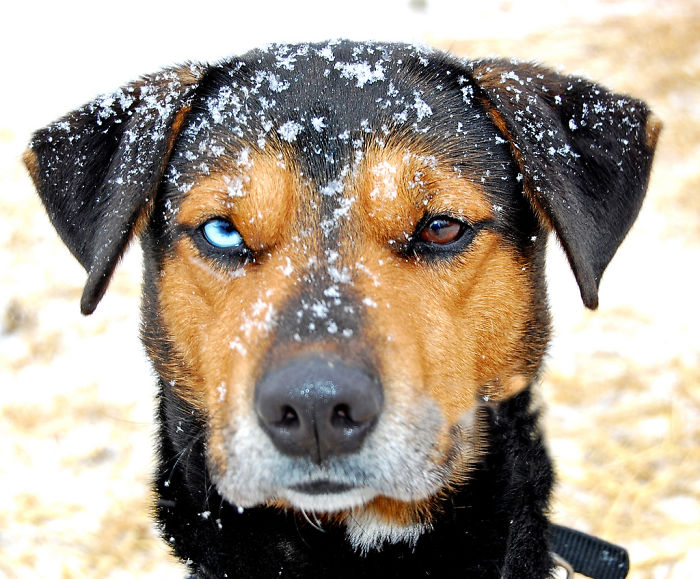 Dog With Heterochromia