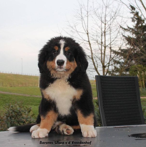 Bernese Mountaindog 10 Weeks Old.
