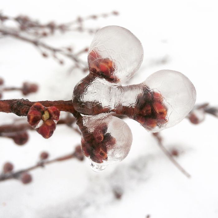 frozen buds on a - photo #21