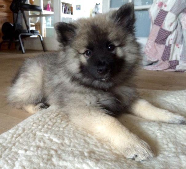 Keeshond: Karmas A Bitch! 11 Weeks Old ❤️
