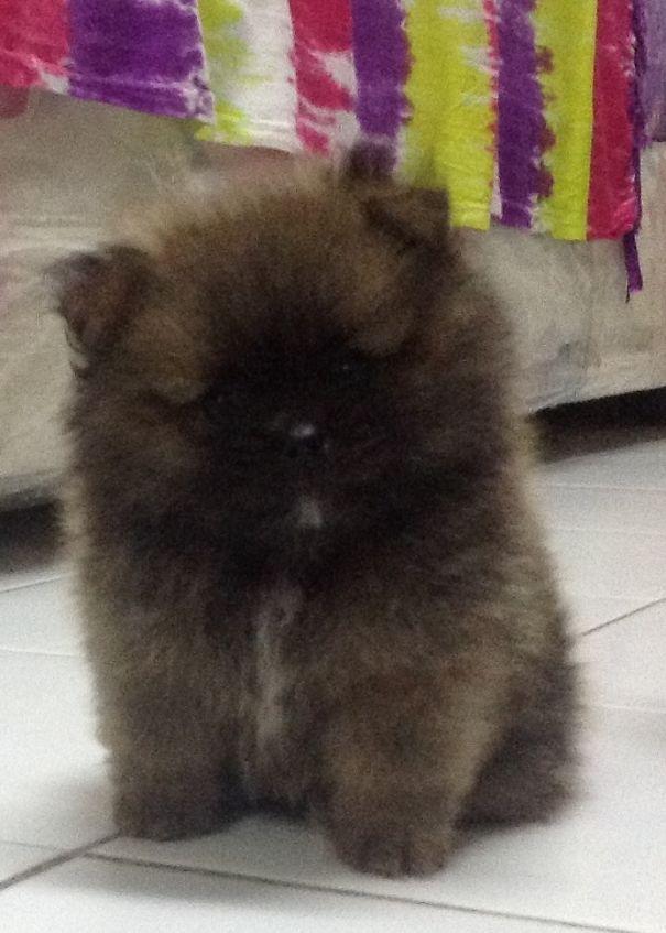 "Bobo ""the Bear"". Nearly 2 Months Pom Puppy."