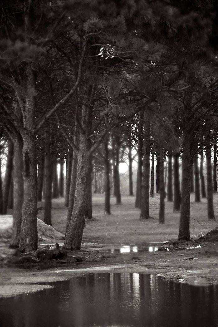 White Pine Canopy