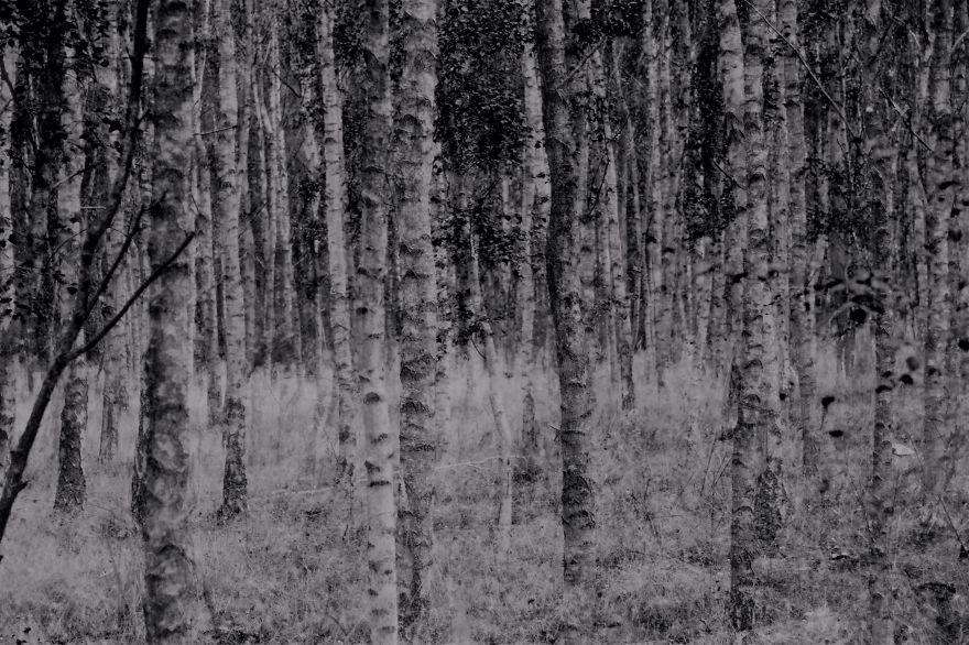 Birch Trees, Germany