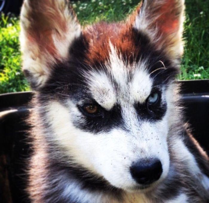 Raider The Husky