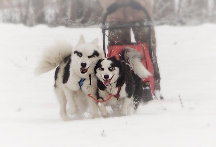 Yakutian Laika Couple.