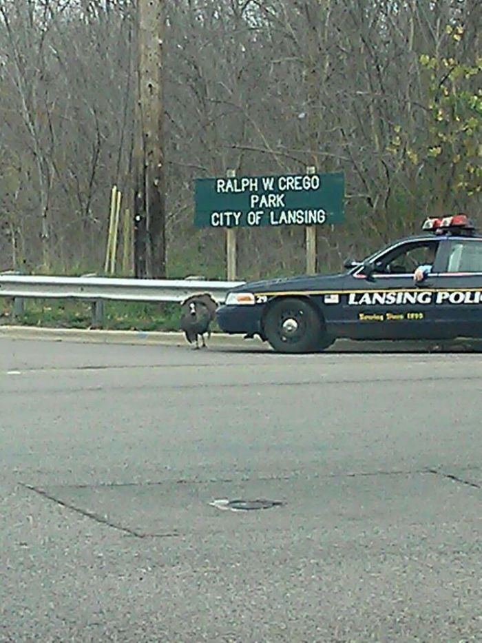 Police Officer Stops Traffic To Allow Wild Turkey To Cross The Road.
