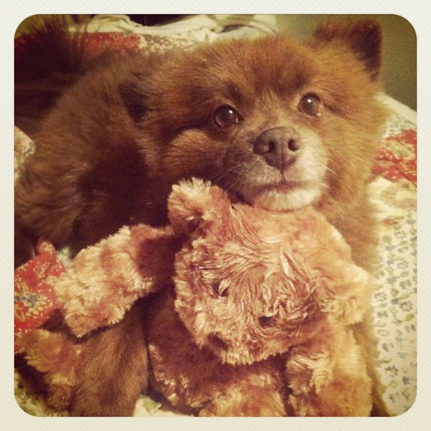 Bear The Pomeranian