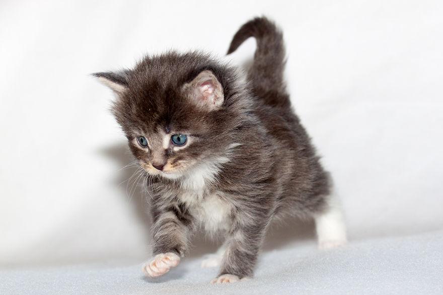 Maine Coon Kittens 4 Weeks Old… | Bored Panda