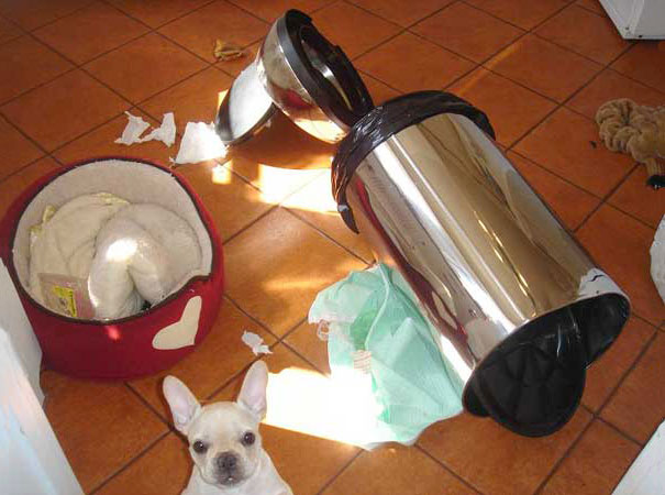 A Messy French Bulldog Puppy
