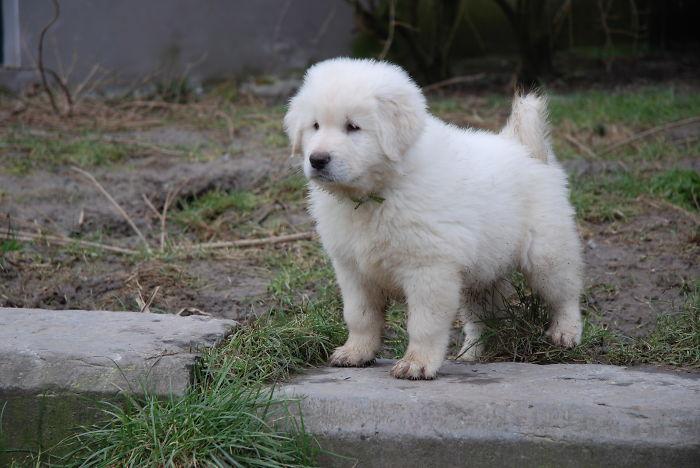 Sarplaninac Pup