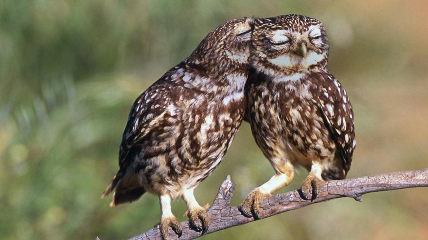 Owl And Wise-love
