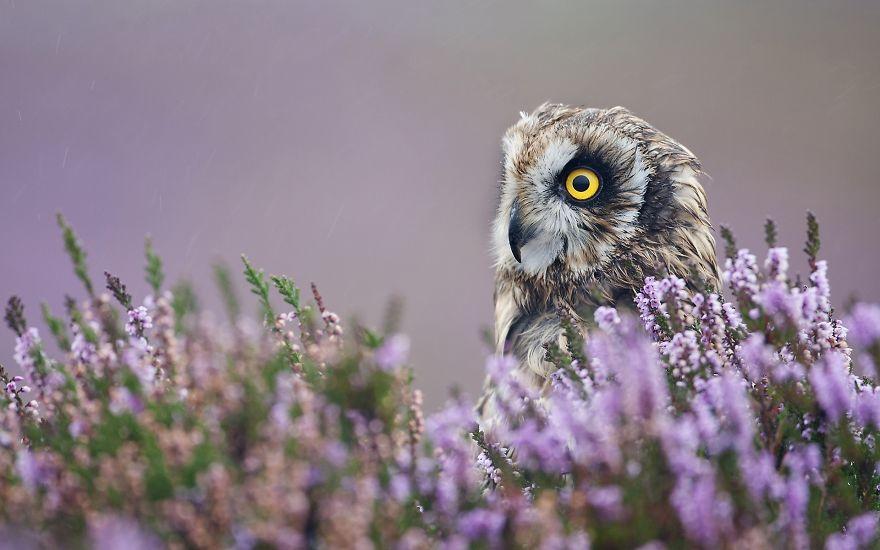 Owl In Field Of Purple Flowers