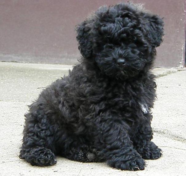 Puli Puppy