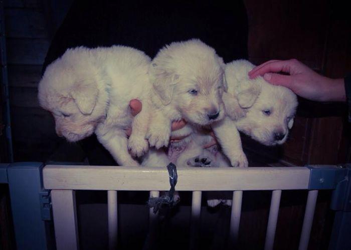 Sarplaninac Puppys, 2 Weeks Old.