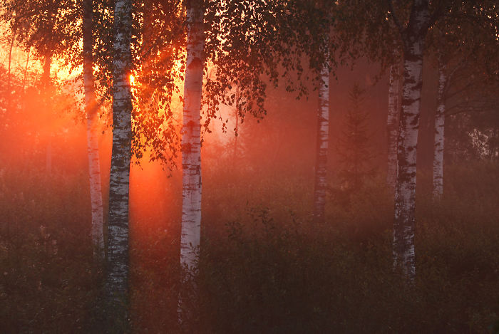 Morning In Estonian Birchwood