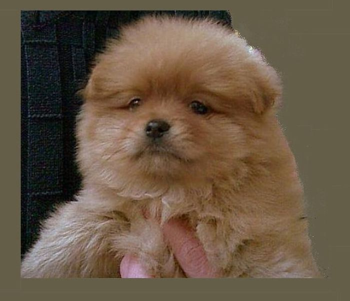 Ted Pomeranian