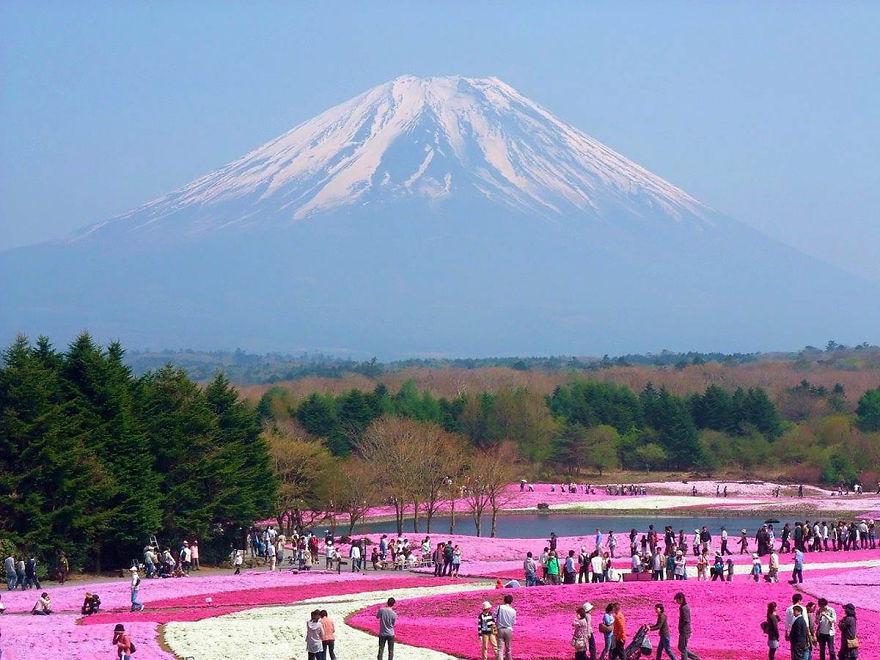 The Fuji Shibazakura Festival (Japan)