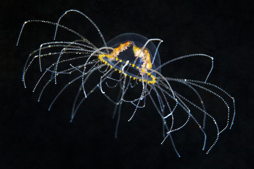 Gonionemus Vertens - Most Dangerous Jelly In The Japan Sea