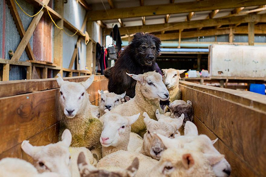 working-dog-photography-shepherds-realm-andrew-fladeboe-6