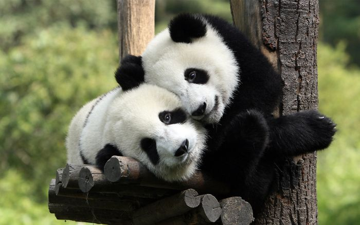 Panda's Love.