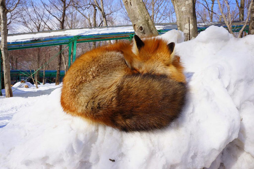 zao-fox-village-japan-36