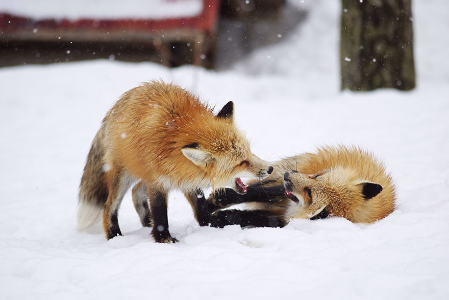 zao-fox-village-japan-4