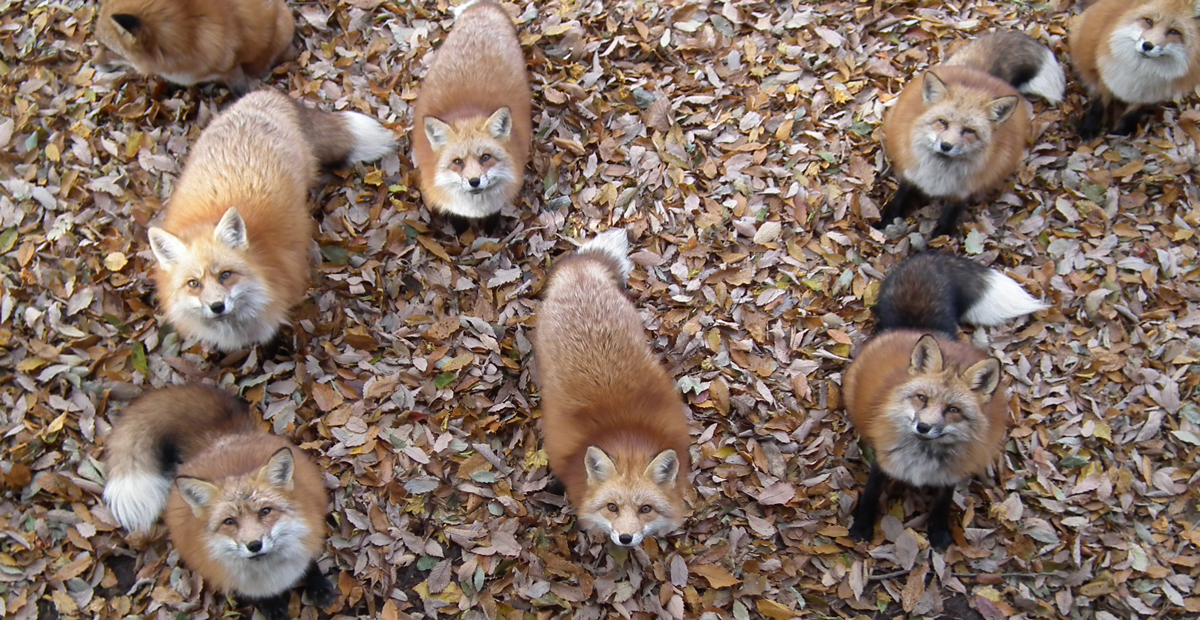 Fox Village In Japan Is Probably The Cutest Place On Earth
