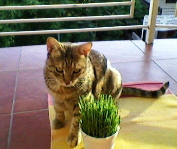 My Cat Šaca Loves Wheat