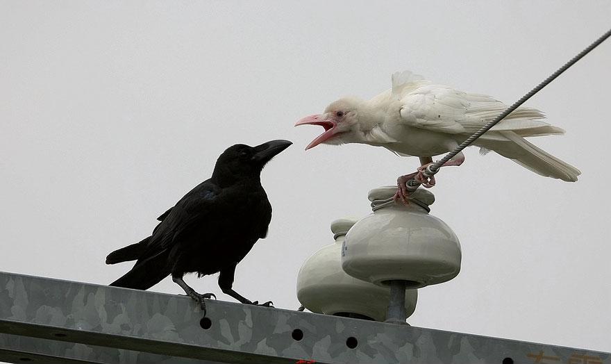 Dark And Albino Crows
