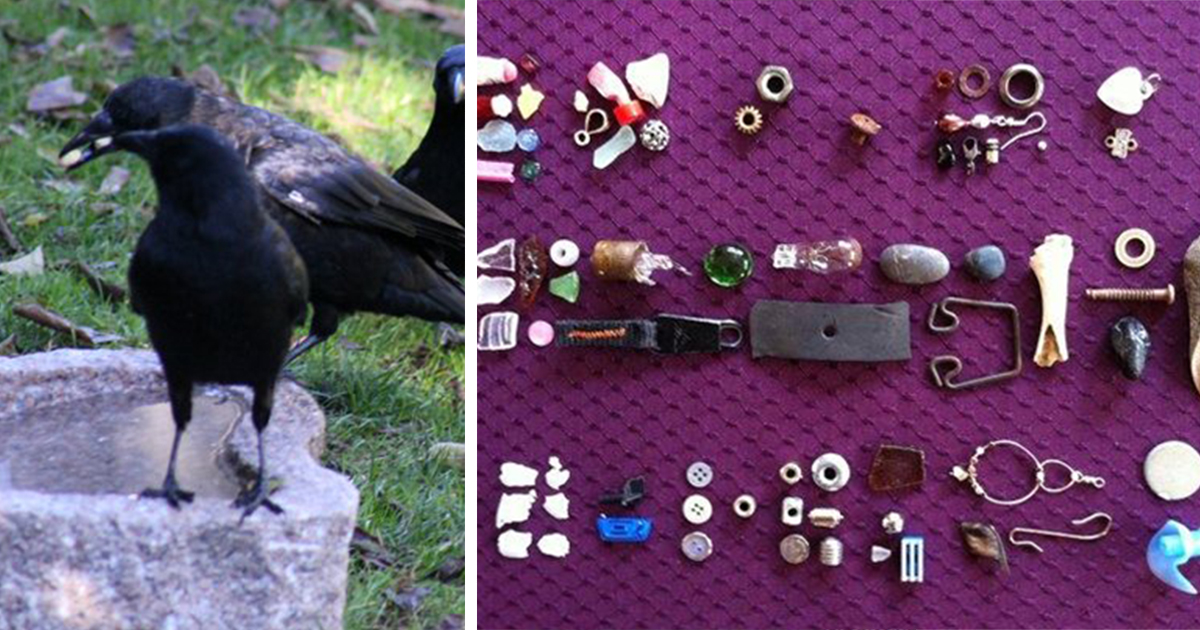 8-Year-Old Girl Receives Gifts From The Crows She's Been Feeding Since She Was 4