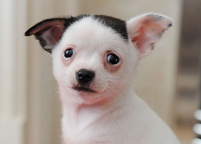 Dog That Looks Like Adolf Hitler