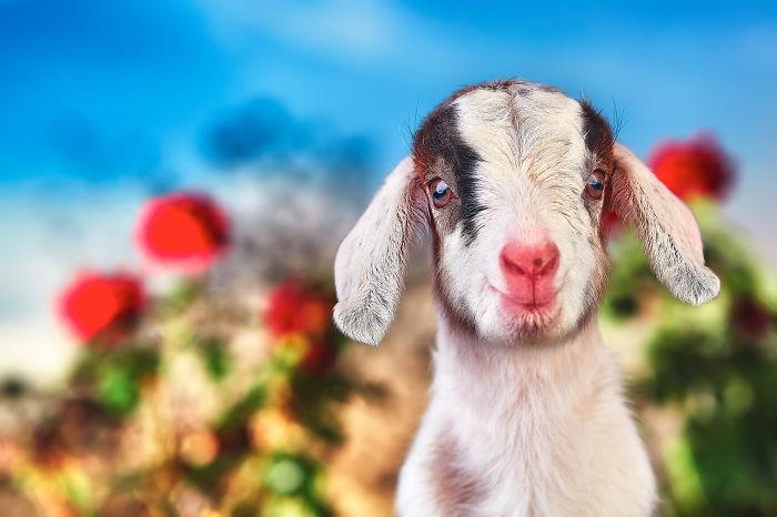 Goat Companions