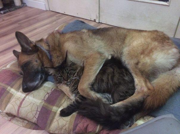 Cat And German Shepard
