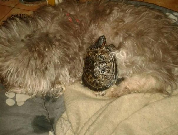 My 17 Years Old Dog And My 18 Years Old Turtle Really Enjoy Napping Together