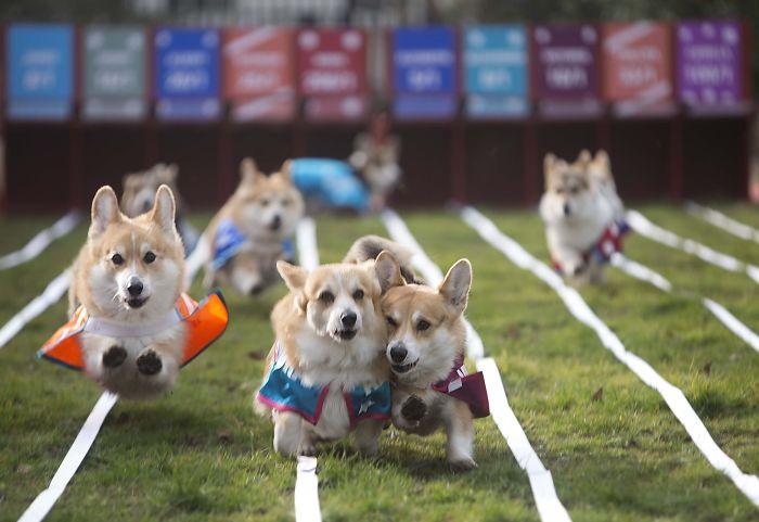 The World's First Corgi Race