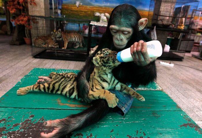 Monkey Feeding Tiger Cub