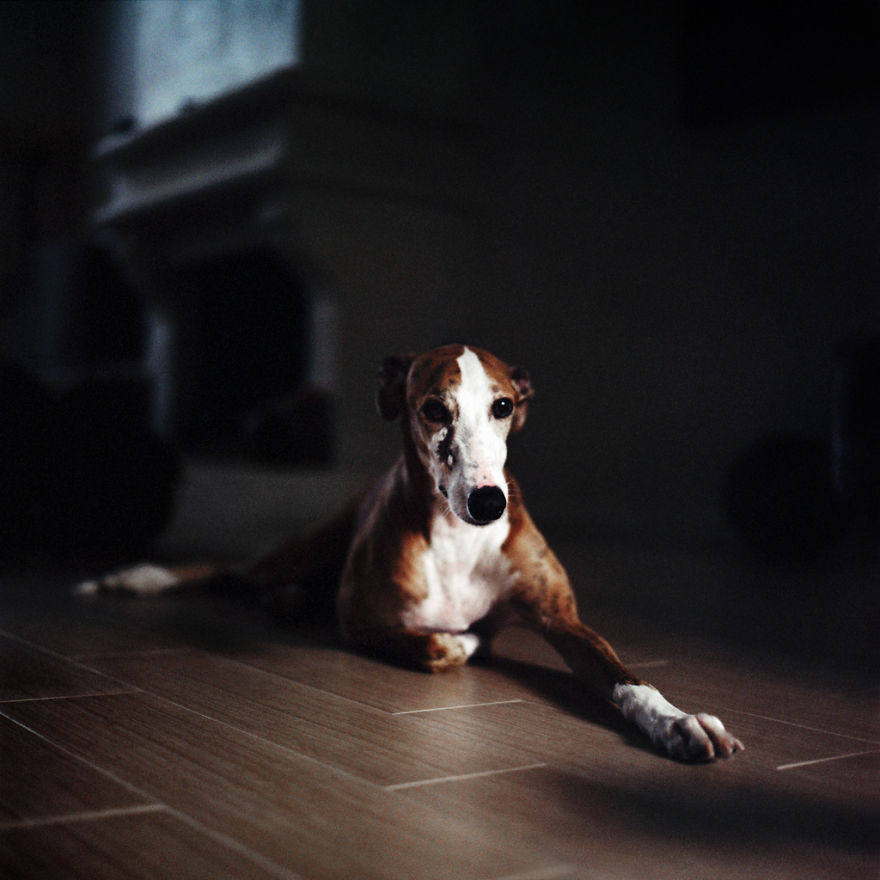 I Photograph Greyhounds Rescued From Horrible Masters Who Tortured Them For Poor Hunting Performance