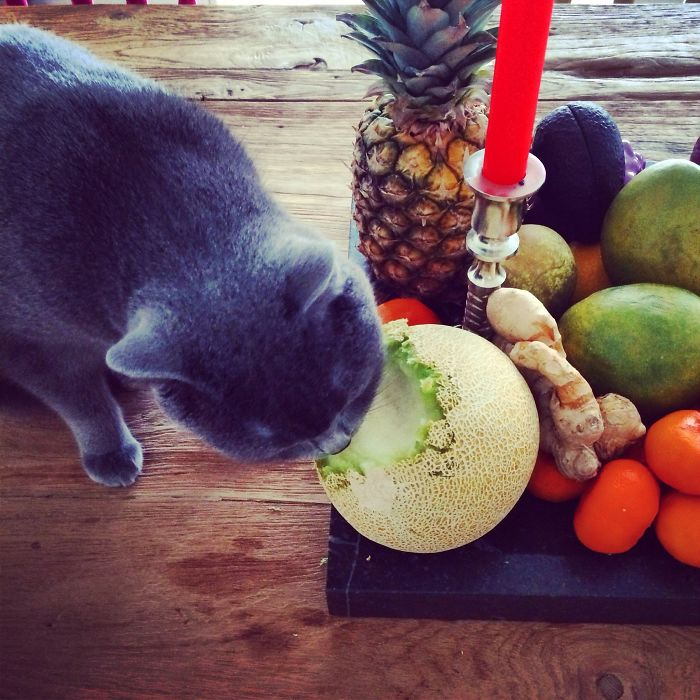 Cat Bores Through Melon