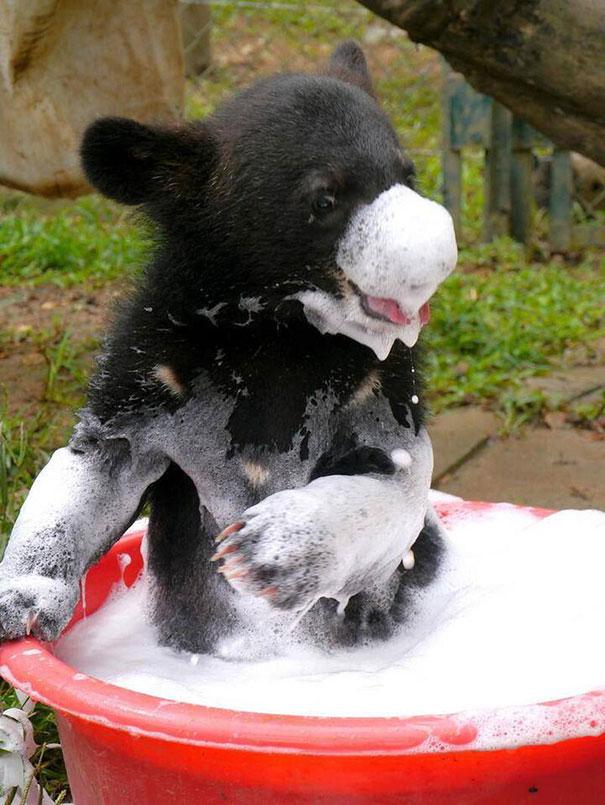 Bear Cub Taking A Bath
