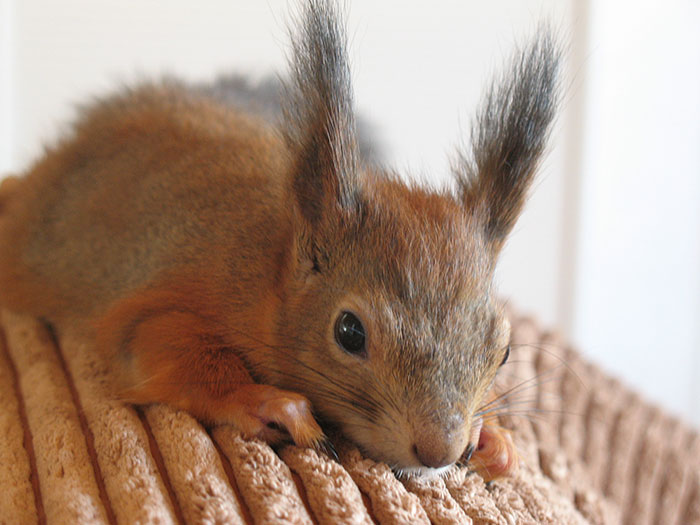 adopted-wild-red-squirrel-baby-arttu-finland-12