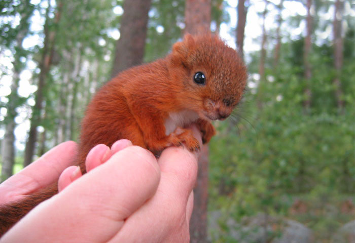 adopted-wild-red-squirrel-baby-arttu-finland-19