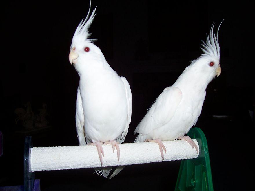 Albino Cockatiels