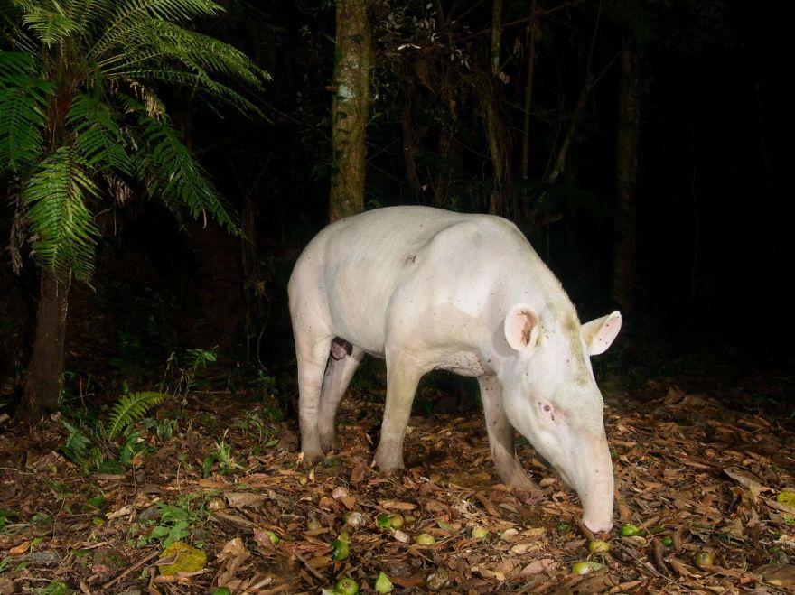 Albino Tapir