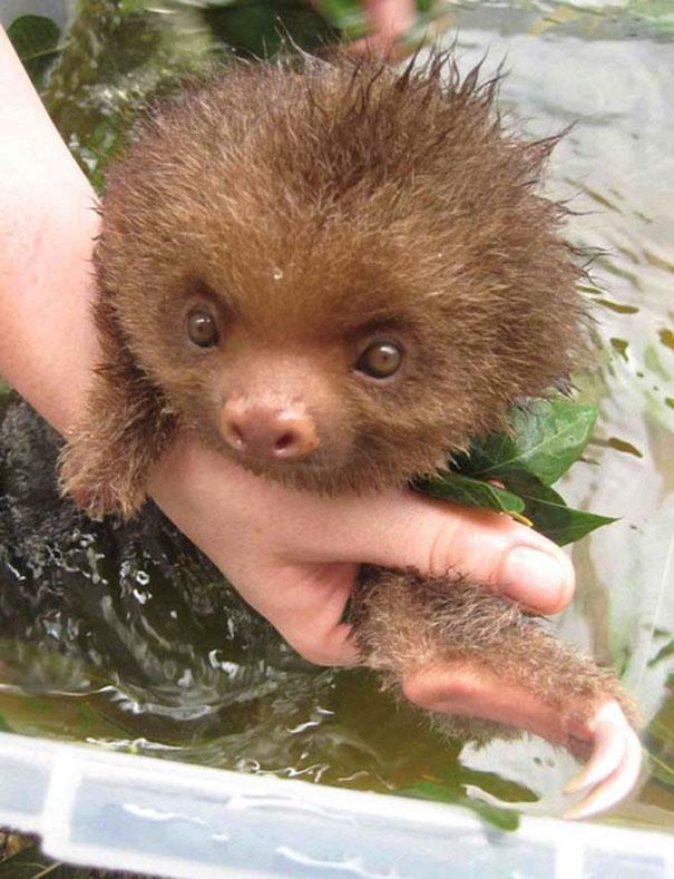 A Baby Sloth Taking A Tea Bath