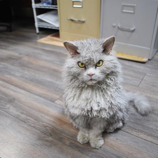 bitchy-resting-face-sheep-cat-albert-1