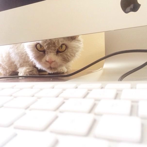 bitchy-resting-face-sheep-cat-albert-10