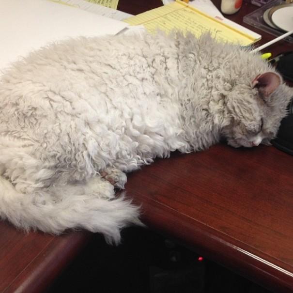 bitchy-resting-face-sheep-cat-albert-11
